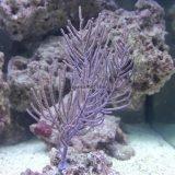 Purple Plume 2 w