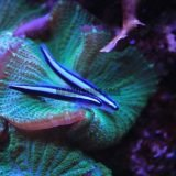 Neon Goby w