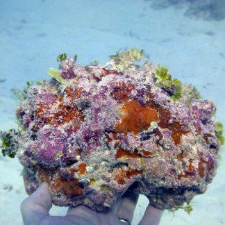 Aquarium Aquacultured Live Rock Supplier