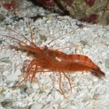p-312-Peppermint-Shrimp-kara.jpg