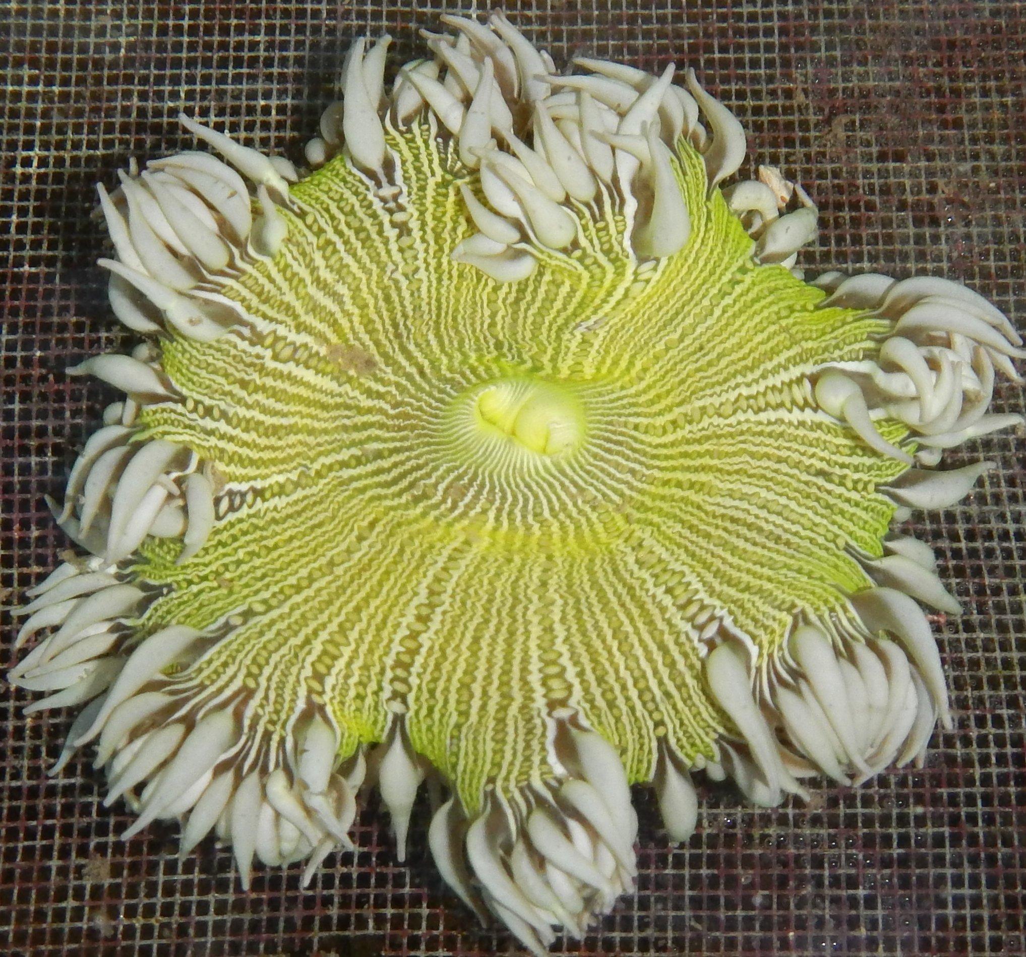 Anemones- Rock Flower Anemones