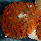 p-605-Red-Warty113.jpg