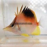 Caribbean Longnose Butterflyfish KP Aquatics